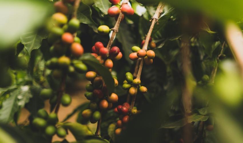 Coffee Flavors Around the Globe